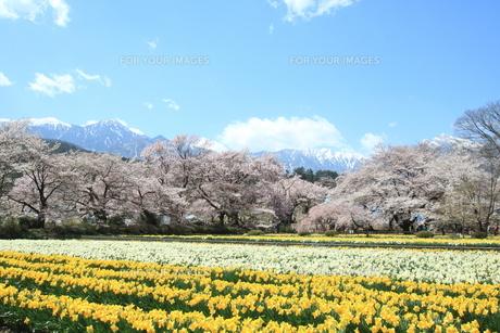 南アルプスと桜と水仙の写真素材 [FYI01222208]
