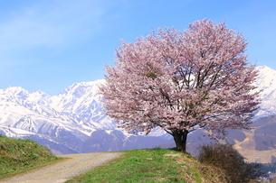 白馬村の春の写真素材 [FYI01222210]