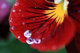 雨に濡れるビオラの写真素材 [FYI01222211]