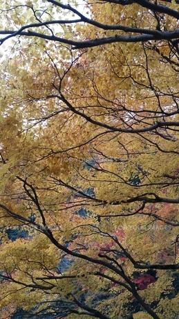 紅葉狩りの写真素材 [FYI01222268]