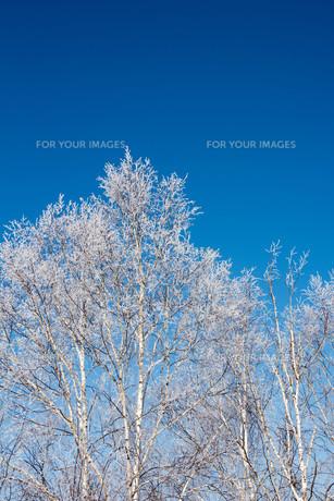 霧氷の着いたシラカバと青空の写真素材 [FYI01222364]