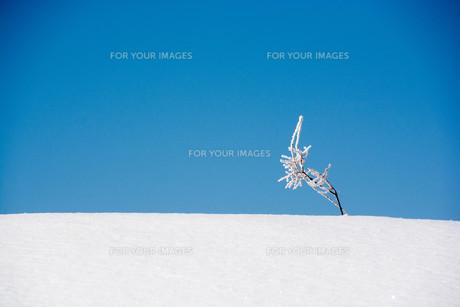 雪原の雑草と青空の写真素材 [FYI01222368]