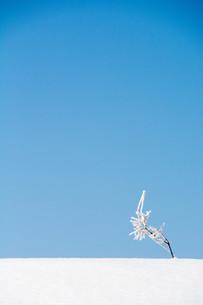 雪原の雑草と青空の写真素材 [FYI01222369]