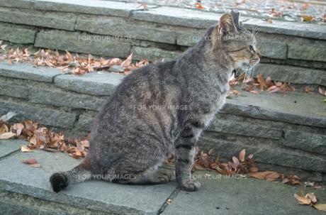 石段に座る猫(TNR活動によって耳カットされている猫)の写真素材 [FYI01222528]