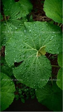雨に濡れた蕗の写真素材 [FYI01222534]