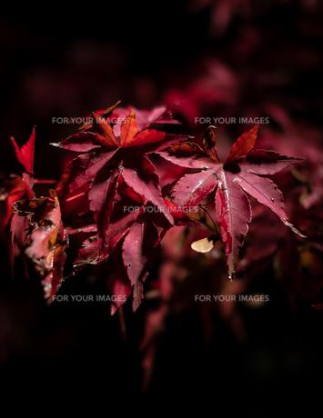 禅林寺 (永観堂)の紅葉のライトアップの写真素材 [FYI01222535]