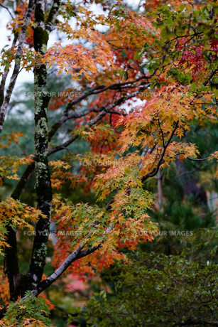 京都の天龍寺の写真素材 [FYI01222542]