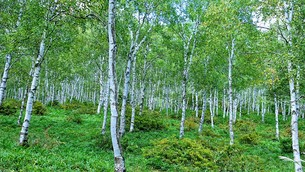 白樺の林の写真素材 [FYI01222652]