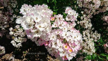 梅雨の晴れ間に咲く花の写真素材 [FYI01222666]