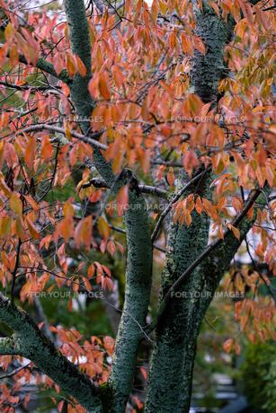 京都の秋の写真素材 [FYI01222701]