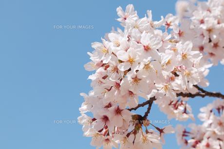 桜と青空の写真素材 [FYI01222725]