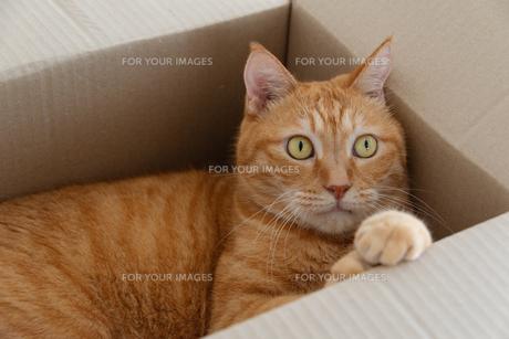 ダンボール箱に入った猫の写真素材 [FYI01222737]