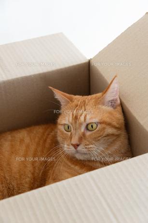 ダンボール箱に入った猫の写真素材 [FYI01222739]