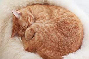 白い毛皮の上で丸まって眠る猫の写真素材 [FYI01222743]
