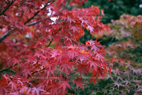 秋の紅葉・景色・もみじ・落ち葉の写真素材 [FYI01222805]