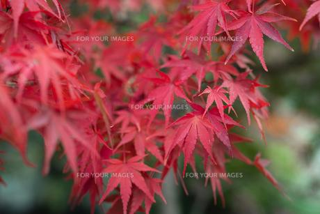 秋の紅葉・景色・もみじ・落ち葉の写真素材 [FYI01222806]