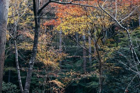秋の紅葉・景色・もみじ・落ち葉の写真素材 [FYI01222809]