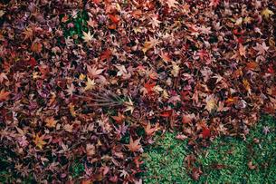 秋の紅葉・景色・もみじ・落ち葉の写真素材 [FYI01222815]