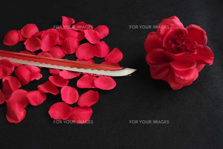 黒背景に赤いバラと花弁の上に置いた日本刀の刀身の写真素材 [FYI01222837]