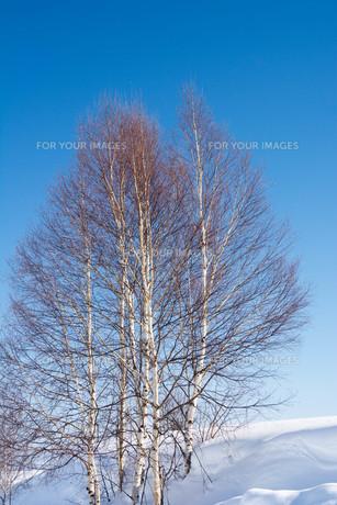 冬のシラカバと青空の写真素材 [FYI01222900]