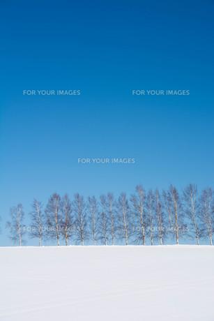 青空と冬のシラカバ並木 美瑛町の写真素材 [FYI01222913]