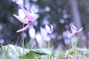 小さな春の妖精 カタクリの花の写真素材 [FYI01222982]