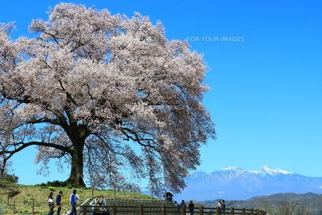 王仁塚の桜の写真素材 [FYI01222985]