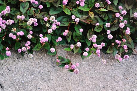 小花の群生の写真素材 [FYI01223000]