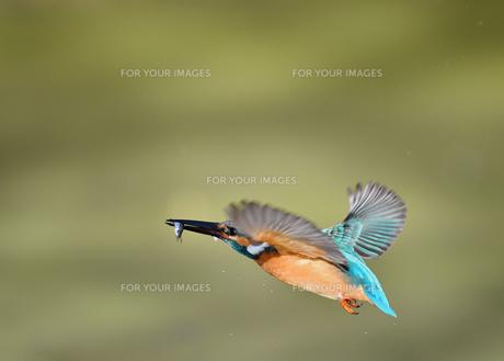 カワセミの捕食の写真素材 [FYI01223174]