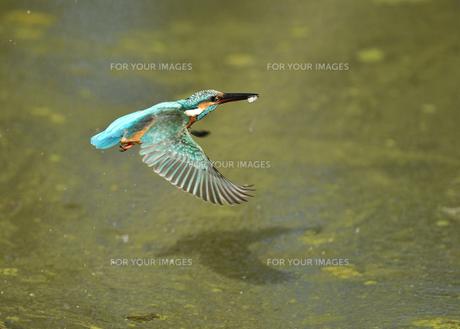 カワセミの捕食の写真素材 [FYI01223176]
