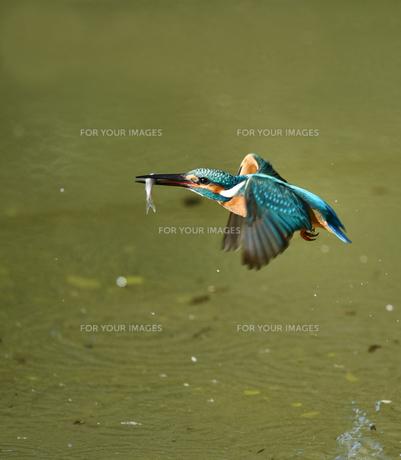 カワセミの捕食の写真素材 [FYI01223177]