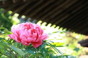 屋根の下の牡丹の花の写真素材 [FYI01223196]