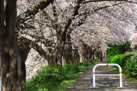 桜並木道の写真素材 [FYI01223217]