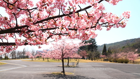 明石海峡大橋の桜の写真素材 [FYI01223235]