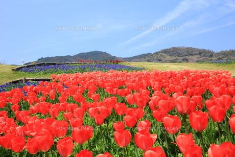 明石海峡公園のチューリップの写真素材 [FYI01223241]