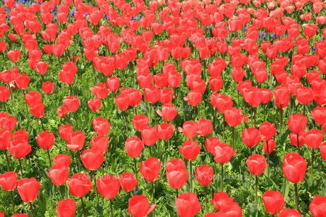 明石海峡公園のチューリップの写真素材 [FYI01223242]