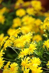 黄花マーガレットの写真素材 [FYI01223304]
