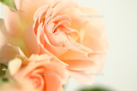 ツルバラ ロココの写真素材 [FYI01223314]