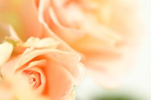 バラ ロココの写真素材 [FYI01223315]