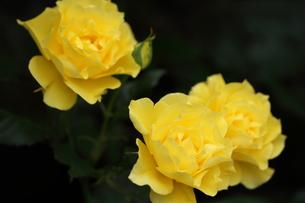 黄色いバラの写真素材 [FYI01223316]