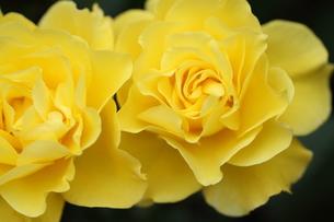 黄色いバラの写真素材 [FYI01223317]