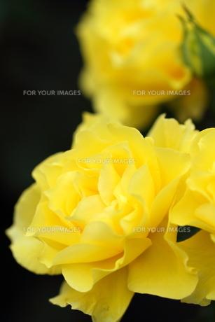 黄色いバラの写真素材 [FYI01223318]