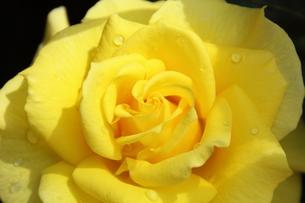 黄色いバラの写真素材 [FYI01223319]