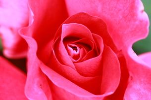 バラ マヌーメイアンの写真素材 [FYI01223321]