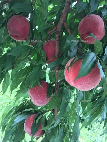 桃の写真素材 [FYI01223355]