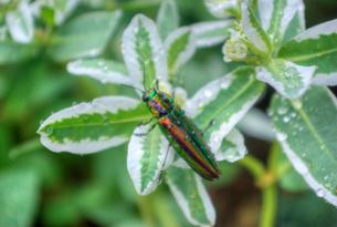 雨滴の付いた初雪草の葉にとまる玉虫の写真素材 [FYI01223396]