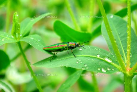 雨滴の付いた初雪草の葉にとまる玉虫の写真素材 [FYI01223397]