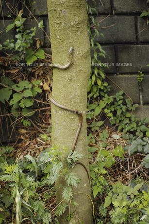 木に登る蛇の写真素材 [FYI01223439]