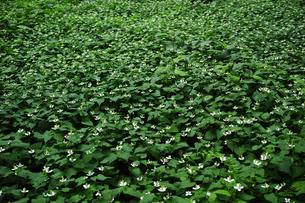 一面の花が咲いたドクダミの写真素材 [FYI01223461]