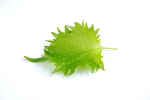 白い背景に一枚の青紫蘇の葉の写真素材 [FYI01223477]